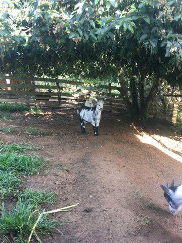 Cabra e bode  caprinos  - Foto 3