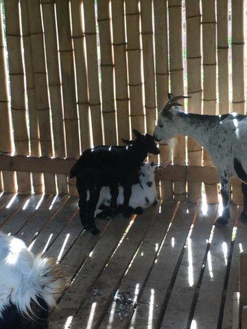 Cabra e bode  caprinos  - Foto 5