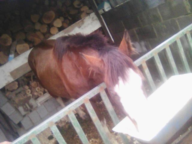 Cavalo de raça pampa registrado