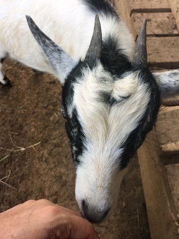 Cabra e bode  caprinos  - Foto 2