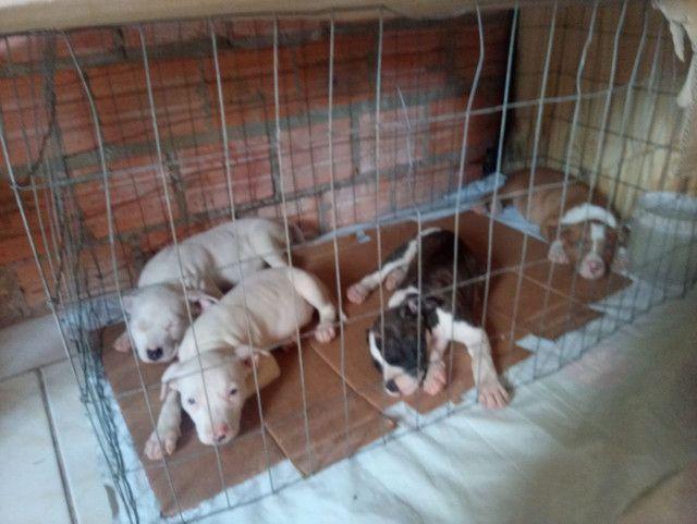 Vendo filhotes de pit bull - Foto 4