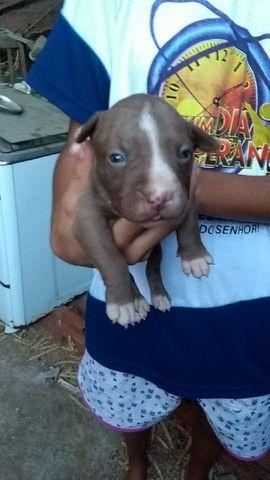 Cachorro Pitbull - Foto 2