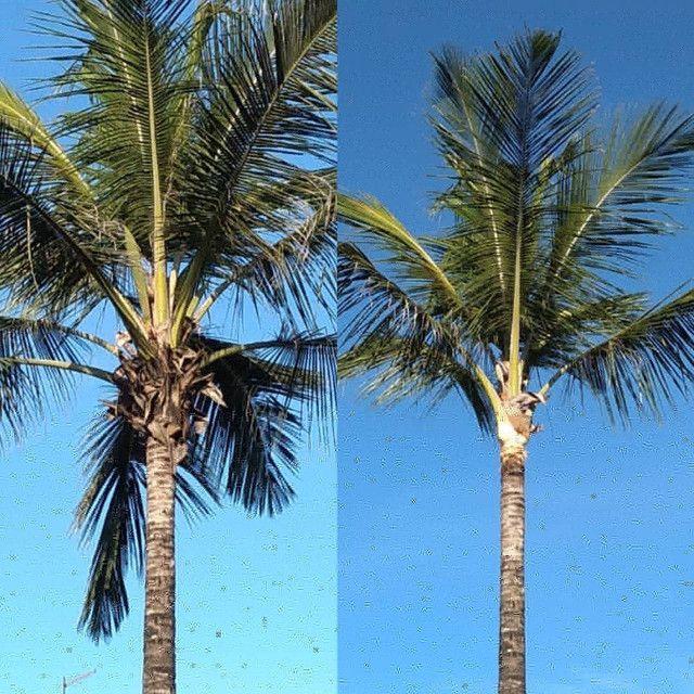 Limpeza de coqueiros - Foto 5
