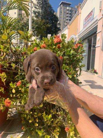 Labrador -Baby - Foto 2