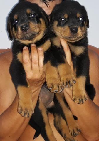 Vendo filhotes de Rottweiler - Foto 2