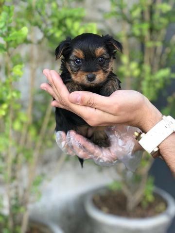 Yorkshire Terrier micro - filhotes de 45 a 60 dias disponíveis 119727-277-78