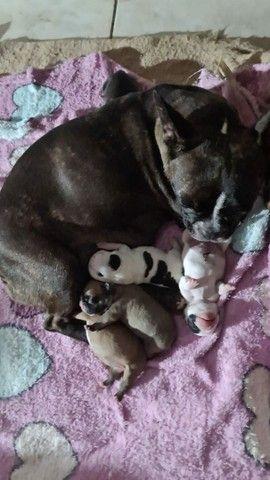 Filhote de bulldog francés  - Foto 2