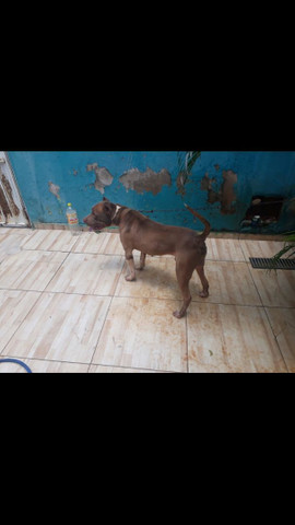 Vende se pitbull macho - Foto 4