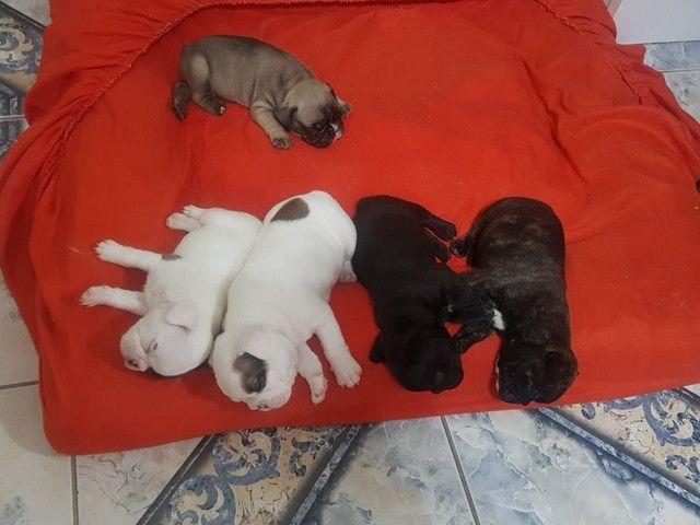 Lindos filhotes de bulldog francês macho - Foto 5