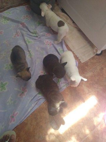 Vendo lindos filhotes de bulldog francês macho - Foto 3