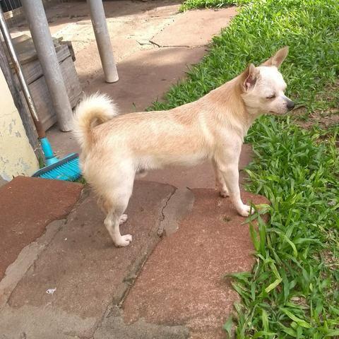 Lindo Chihuahua macho com 1 ano
