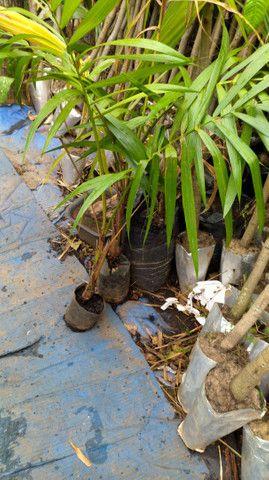 Mudas frutíferas Goiás - Foto 2