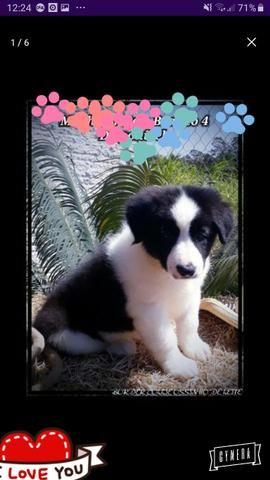 Border Collie Cachorro Mais Inteligente Do Mundo