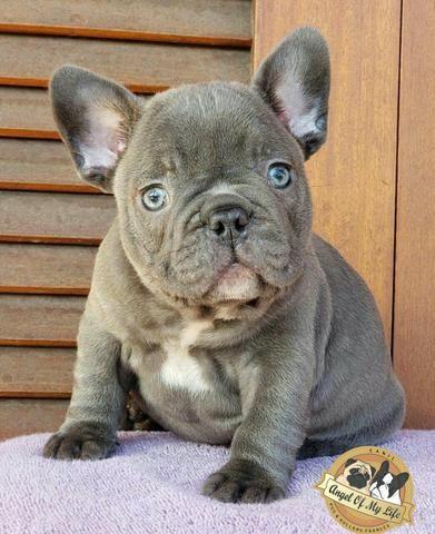 Bulldog Francês Blue Exótico Macho