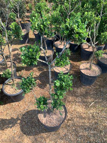 Plantas jardim - Foto 3