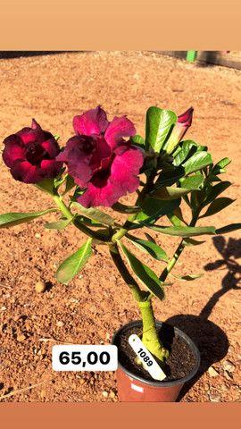 Rosas do deserto disponíveis em Ji-Paraná
