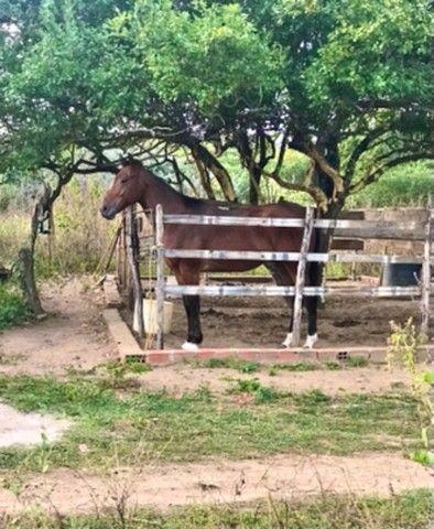 Cavalo Quarto de milha - Foto 3