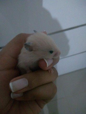 Hamsters sírios filhotes várias cores