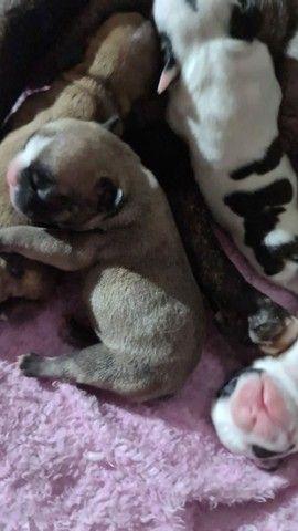 Filhote de bulldog francés
