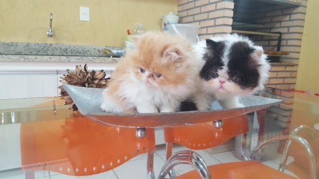 Lindos Filhotes de Gatos Persa Top Show