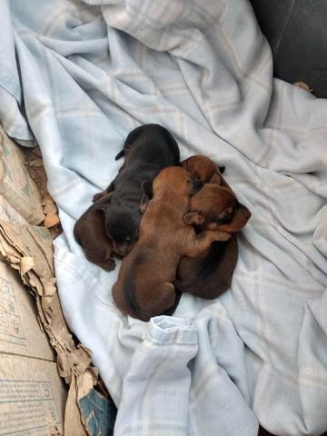 Filhotes de Basset dachshund - Foto 3