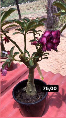 Rosas do deserto disponíveis em Ji-Paraná - Foto 2