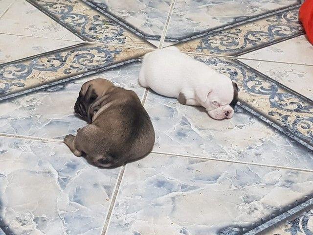 Lindos filhotes de bulldog francês macho - Foto 3