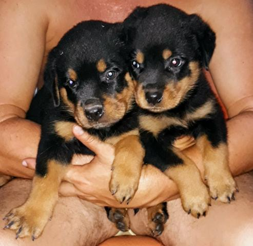 Vendo filhotes de Rottweiler - Foto 3