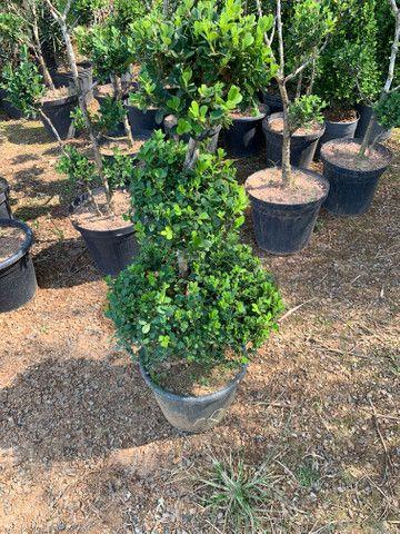 Plantas jardim - Foto 4