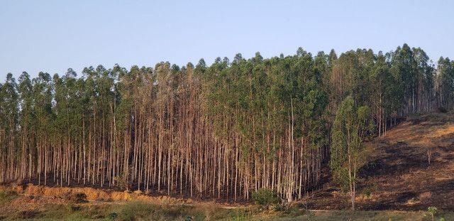 Vendo eucalipto  - Foto 3