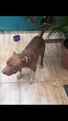 Vende se pitbull macho - Foto 3