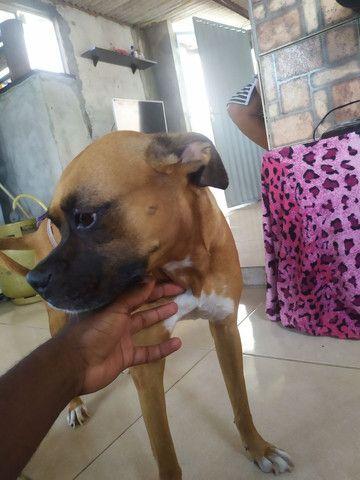 Boxer fêmea( procurando Macho para cruzar) - Foto 3