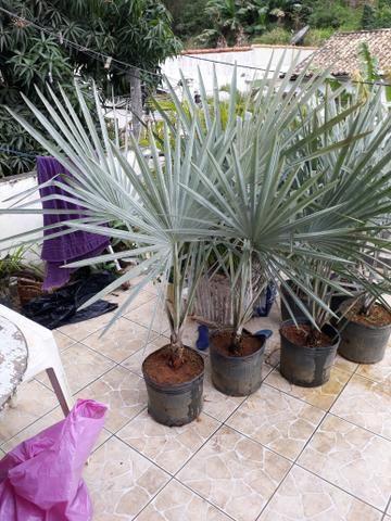Palmeira azul bismake promoção - Foto 2
