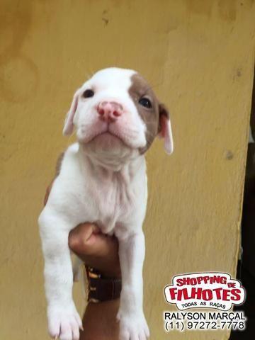 American Pitbull Terrier - filhotes de 45 a 60 dias disponíveis 119727-277-78 - Foto 2