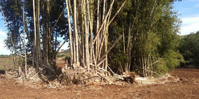 Bambu gigante - Foto 4