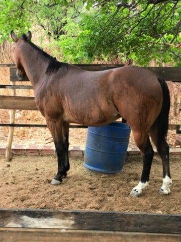 Cavalo Quarto de milha - Foto 4