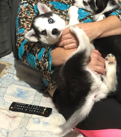 filhote husky siberiano  - Foto 2