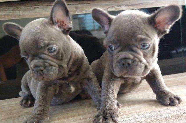 Bulldog francês exótico com pedigree e micro chip em até 12x