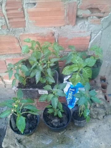 Muda de pimenta