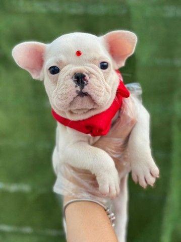 Bulldog francês com pedigree e microchip em até 12x