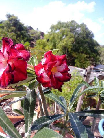 Sementes de rosas do deserto$1.00real - Foto 3