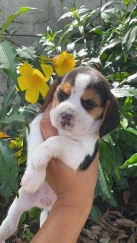 Beagle com pedigree e microchip em até 12x