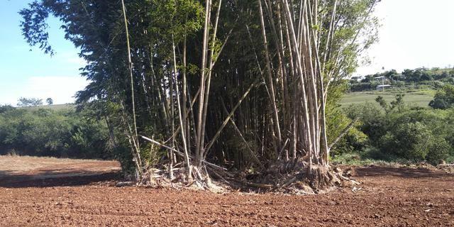 Bambu gigante - Foto 3