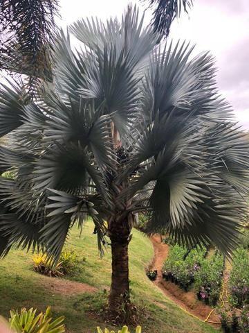 Palmeira azul bismake promoção