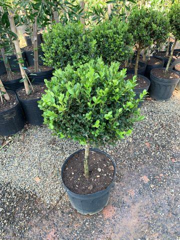 Plantas jardim - Foto 2