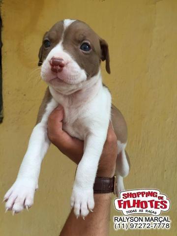 American Pitbull Terrier - filhotes de 45 a 60 dias disponíveis 119727-277-78 - Foto 3