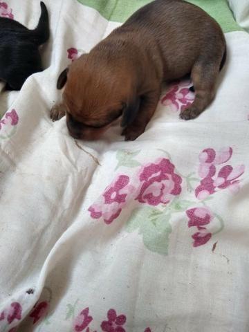 Filhotes de Basset dachshund - Foto 2