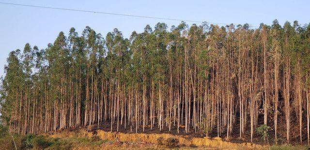 Vendo eucalipto  - Foto 2
