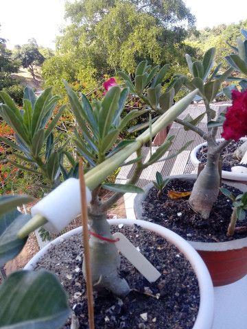Sementes de rosas do deserto$1.00real - Foto 5