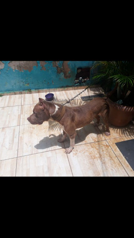Vende se pitbull macho - Foto 5